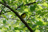 April 19, 2012 (Rockwoods Reservation [Glencoe Road trailhead], Wildwood, Saint Louis County, Missouri) -- Kentucky Warbler