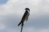 May 10, 2012 (Shaw Nature Reserve [near Prairie Trail] / Franklin County, Missouri) -- Tree Swallow