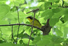 May 9, 2012 (Weldon Springs Conservation Area, Lost Valley Trail / Defiance, Saint Charles County, Missouri) -- Kentucky Warbler