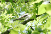 May 9, 2012 (Weldon Springs Conservation Area, Lost Valley Trail / Defiance, Saint Charles County, Missouri) -- Yellow-billed Cuckoo