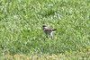 May 17, 2012 (Parkway Central High School [sportsfield] / Chesterfield, Saint Louis County, Missouri) -- Juvenile Killdeer running away