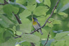 April 19, 2012 (Rockwoods Reservation [Glencoe Road trailhead], Wildwood, Saint Louis County, Missouri) -- Northern Parula