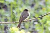April 10, 2012 (Columbia Bottom Conservation Area [boardwalk at slough] / Saint Louis County, Missouri) -- Eastern Phoebe