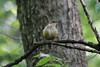 May 4, 2012 (Parkway Central High School [near wooded trail] / Chesterfield, Saint Louis County, Missouri) -- Carolina Wren