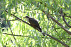 May 18, 2012 (Columbia Bottom Conservation Area [near slough boardwalk] / Saint Louis County, Missouri) -- Yellow-billed Cuckoo