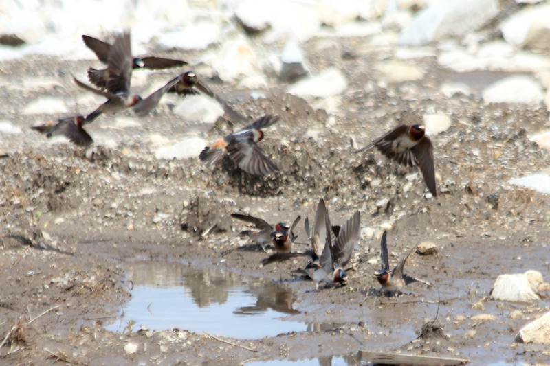 May 1, 2012 (Riverlands Migratory Bird Sanctuary [parking lot by the Missouri side of the Melvin Price Dam] / West Alton, Saint Charles County, Missouri) -- a handful of the hundreds of Cliff Swallows gathering mud for nests