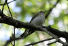 May 9, 2012 (Weldon Springs Conservation Area, Lost Valley Trail / Defiance, Saint Charles County, Missouri) -- Philadelphia Vireo