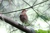 May 8, 2012 (Tower Grove Park [near Gaddy Bird Garden] / Saint Louis, Missouri) -- Veery