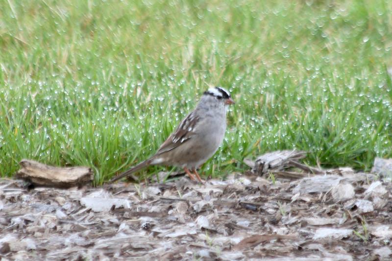 April 7, 2012 (Riverlands Migratory Bird Sanctuary [visitor center] / West Alton, Saint Charles County, Missouri) -- White-crowned Sparrow