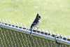 May 17, 2012 (Parkway Central High School [baseball outfield fence] / Chesterfield, Saint Louis County, Missouri) -- Blue Jay