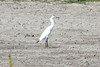 "May 18, 2012 (Columbia Bottom Conservation Area [dried up ""fluddle"" habitat] / Saint Louis County, Missouri) -- Snowy Egret"