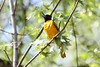 May 8, 2012 (Columbia Bottom Conservation Area [over boardwalk at slough] / Saint Louis County, Missouri) -- Baltimore Oriole