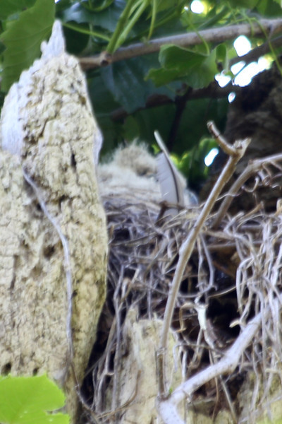 April 18, 2012 (Columbia Bottom Conservation Area [over boardwalk at slough] / Saint Louis County, Missouri) -- Juvenile Great Horned Owl in nest