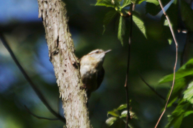 April 12, 2012 (Parkway Central High School [near wooded trail] / Chesterfield, Saint Louis County, Missouri) -- Carolina Wren