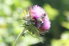 May 15, 2012 (Parkway Central High School [under radio tower] / Chesterfield, Saint Louis County, Missouri) -- Bumblebees on Thistle
