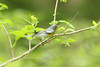 April 15, 2012 (Rockwoods Reservation [Glencoe Road trailhead], Wildwood, Saint Louis County, Missouri) -- Northern Parula