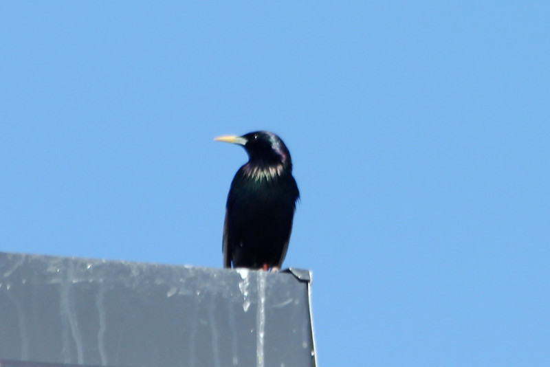 April 9, 2012 (Parkway Central High School [on top of Science building] / Chesterfield, Saint Louis County, Missouri) -- European Starling