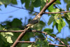 May 6, 2012 (Simpson Lake County Park [near main parking lot and pavilion] / Valley Park, Saint Louis County, Missouri) -- Warbling Vireo