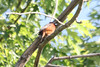 May 13, 2012 (Columbia Bottom Conservation Area [near visitor center] / Saint Louis County, Missouri) -- Orchard Oriole