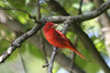 May 10, 2012 (Shaw Nature Reserve [near Bascom House] / Franklin County, Missouri) -- Male Summer Tanager