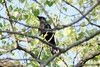 April 1, 2012 (Simpson Lake County Park [near playground] / Valley Park, Saint Louis County, Missouri) -- American Crow