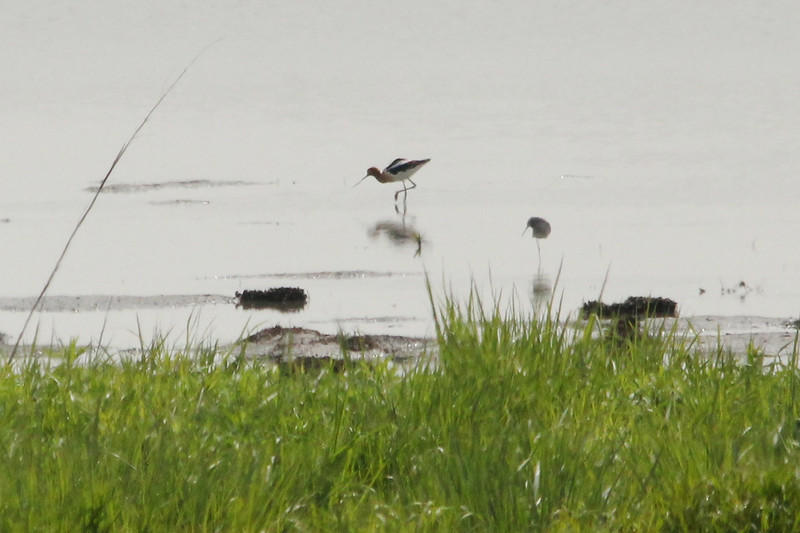 April 7, 2012 (Riverlands Migratory Bird Sanctuary [south of Heron Pond] / West Alton, Saint Charles County, Missouri) -- American Avocet