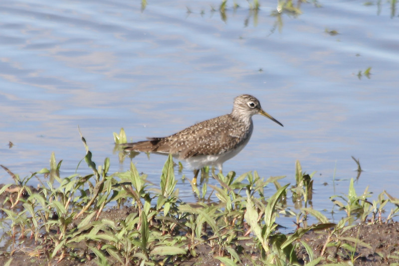 April 16, 2012 (Columbia Bottom Conservation Area [flooded fields] / Saint Louis County, Missouri) -- Solitary Sandpiper