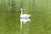 May 17, 2012 (Simpson Lake County Park [on fenced water-treatment pond] / Valley Park, Saint Louis County, Missouri) -- Mute Swan