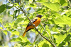 May 13, 2012 (Columbia Bottom Conservation Area [near slough boardwalk] / Saint Louis County, Missouri) -- Baltimore Oriole