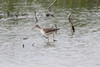 April 4, 2012 (Columbia Bottom Conservation Area [flooded fields] / Saint Louis County, Missouri) -- Lesser Yellowlegs