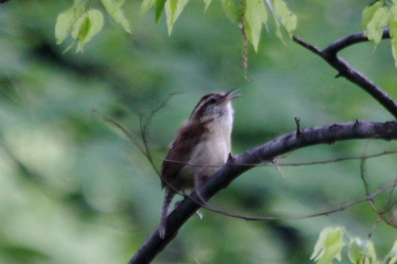 April 5, 2012 (Parkway Central High School [near wooded trail] / Chesterfield, Saint Louis County, Missouri) -- Carolina Wren