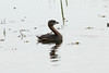 April 7, 2012 (Riverlands Migratory Bird Sanctuary [near Wise Road] / West Alton, Saint Charles County, Missouri) -- Pied-billed Grebe