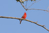 May 13, 2012 (Columbia Bottom Conservation Area [near visitor center] / Saint Louis County, Missouri) -- Northern Cardinal