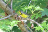 May 13, 2012 (Columbia Bottom Conservation Area [near slough boardwalk] / Saint Louis County, Missouri) -- Canada Warbler