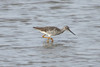 April 4, 2012 (Columbia Bottom Conservation Area [flooded fields] / Saint Louis County, Missouri) -- Greater Yellowlegs