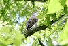 May 9, 2012 (Weldon Spring Conservation Area, Lost Valley Trail / Defiance, Saint Charles County, Missouri) -- Yellow-billed Cuckoo