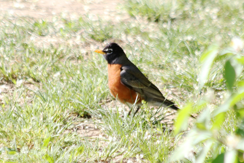April 9, 2012 (Parkway Central High School [on sports field] / Chesterfield, Saint Louis County, Missouri) -- American Robin
