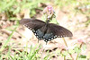 April 11, 2012 (Parkway Central High School [on sports field] / Chesterfield, Saint Louis County, Missouri) -- Spicebush Swallowtail Butterfly