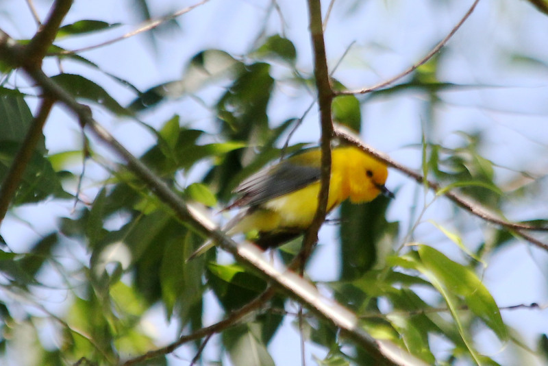 May 13, 2012 (Columbia Bottom Conservation Area [near slough boardwalk] / Saint Louis County, Missouri) -- Prothonotary Warbler