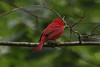 May 12, 2012 (Rockwoods Reservation [near end of Glencoe Road], Wildwood, Saint Louis County, Missouri) -- Summer Tanager