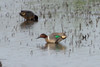 April 4, 2012 (Columbia Bottom Conservation Area [flooded fields] / Saint Louis County, Missouri) -- Green-winged Teal