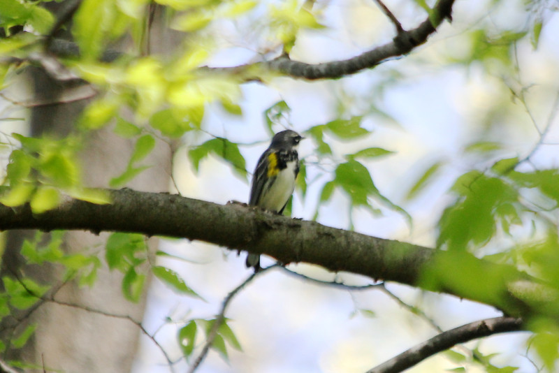 """April 2, 2012 (Parkway Central High School [over wooded trail] / Chesterfield, Saint Louis County, Missouri) -- Yellow-rumped """"Myrtle"""" Warbler"""