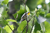 May 12, 2012 (Rockwoods Reservation [near visitor center], Wildwood, Saint Louis County, Missouri) -- Yellow-throated Warbler