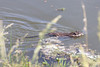 May 12, 2012 (Broemmelsiek County Park [in central pond] / Weldon Springs, Saint Charles County, Missouri) -- Muskrat