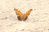 April 15, 2012 (Rockwoods Reservation [Glencoe Road trailhead], Wildwood, Saint Louis County, Missouri) -- Question Mark Butterfly