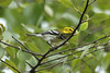 September 5, 2012 (Simpson Lake County Park [near playground] / Valley Park, Saint Louis County, Missouri) -- Black-throated Green Warbler