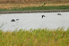 August 4, 2012 (BK Leach Conservation Area [ponds near gravel road] / Lincoln County, Missouri) -- Black-necked Stilts