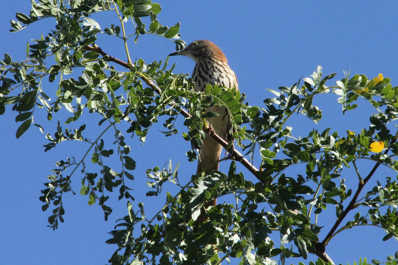 Brown Thrasher @ Parkway Central High School