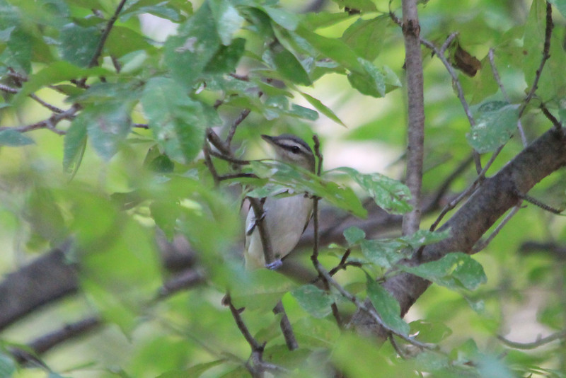 September 25, 2012 (Shaw Nature Reserve [woods near Bascom House] / Franklin County, Missouri) -- Red-eyed Vireo