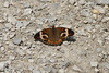 August 10, 2012 - (Portage Des Sioux Nature Area / Portage des Sioux, Saint Charles County, Missouri) -- Buckeye Butterfly